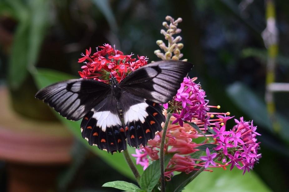 Flutterbly on flowers