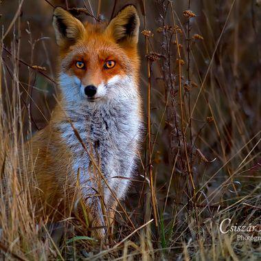 In winter fur.