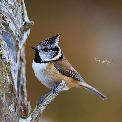 Quick Crestie ·  #your_best_birds#nuts_about_birds #crestedtit #scotland #b