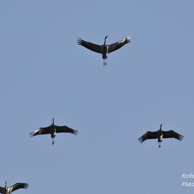 Formacion de vuelo de las grullas en sus viajes migratorios. Cielo de Plasencia-Caceres (Spain)