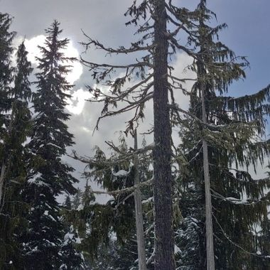 Tree tops at Mt Washington Day - February 23, 2019