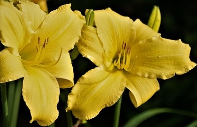 Lilies, Day Lilies