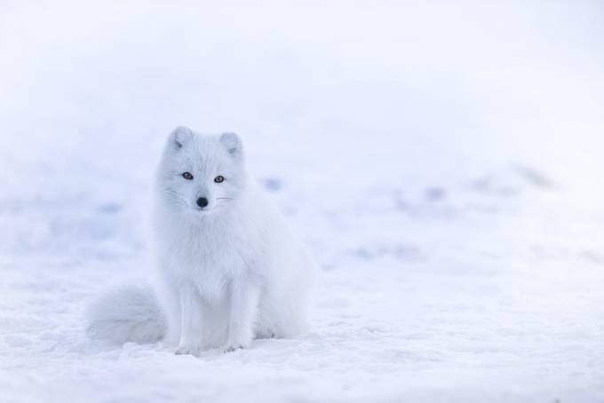 foxie by MARINHACV - Winter Wildlife Photo Contest