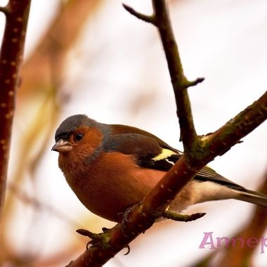 Cheery Chaffinch