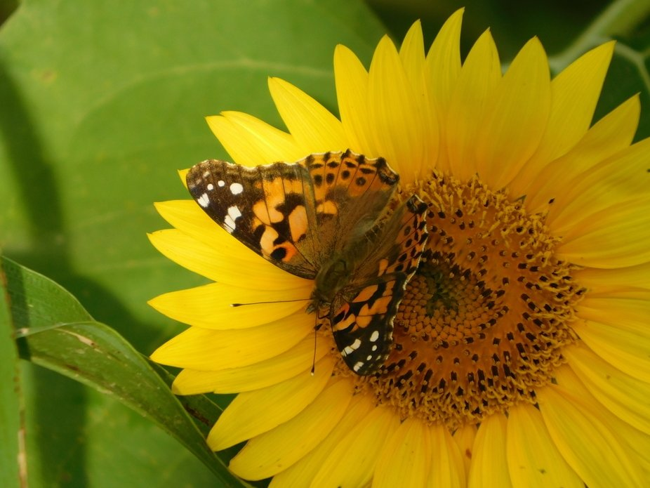 Sunflower with Painted Lady