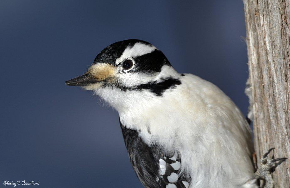 Hairy Woodpecker peekaboo