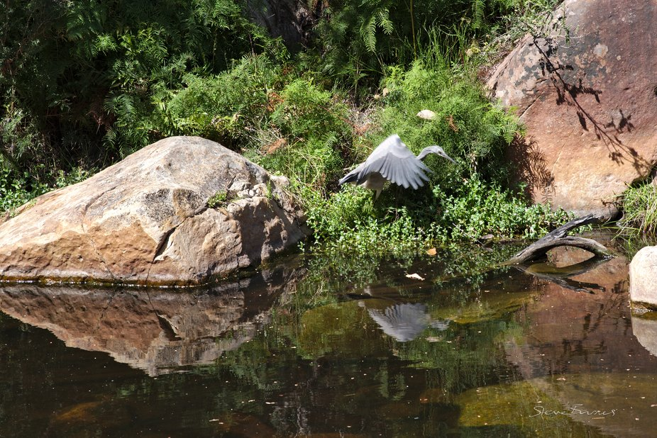 A White Faced Heron (we believe) takes flight, with its reflection in the water at Venus Baths, Halls Gap. The weather has been dry, and the flow is quite slow, but the place is still beautiful. K1SD7437