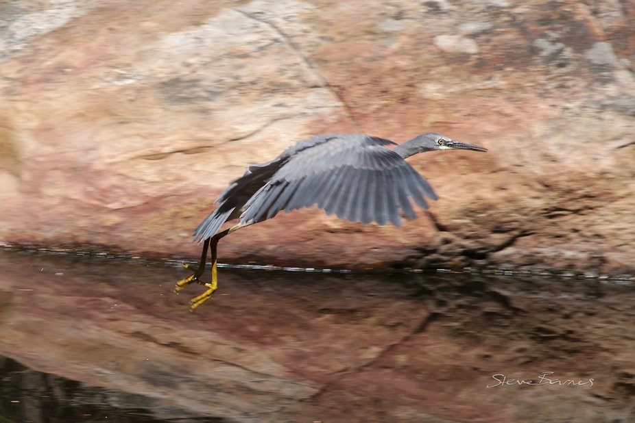 A White Faced Heron (we believe) takes flight, with its reflection in the water at Venus Baths, Halls Gap. The weather has been dry, and the flow is quite slow, but the place is still beautiful. K1SD7446
