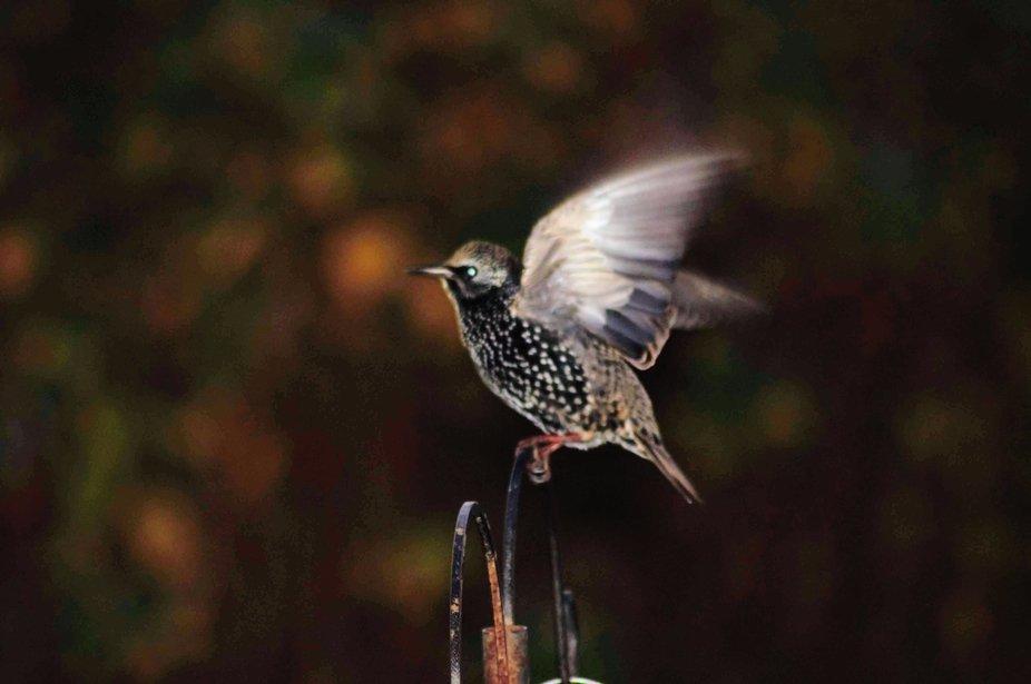 Starling visiting bird feeder in the garden