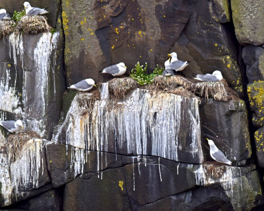 Messy gulls on cliffs at Dunstanburgh castle Northumberland.