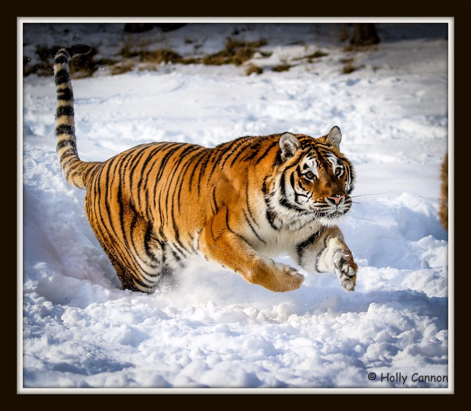Siberian Tiger in the snow in Kalispell Montana
