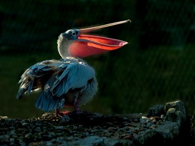 Glowing Pelican