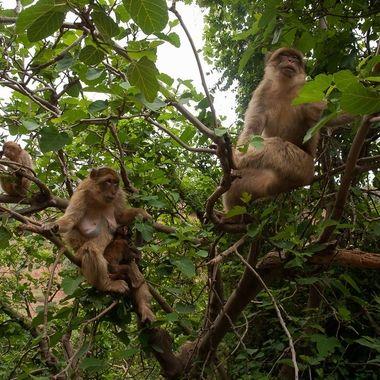 Monos de Berberia (A 150 km de Marrakech-Marruecos), en las cascadas de Ouzoud