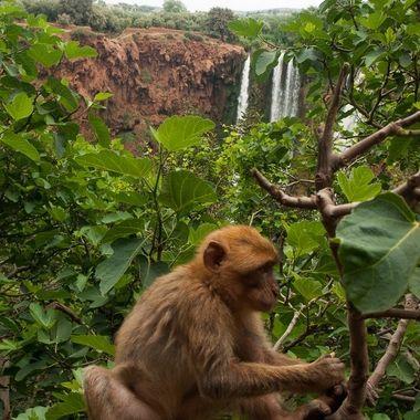 Macacos del Atlas en las cascadas de Ouzoud (Marruecos)
