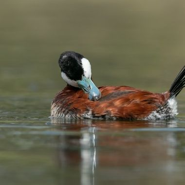 Ruddy Duck, male -08829