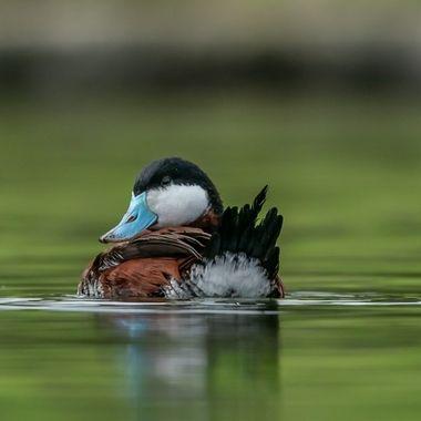 Ruddy Duck, male - 09026
