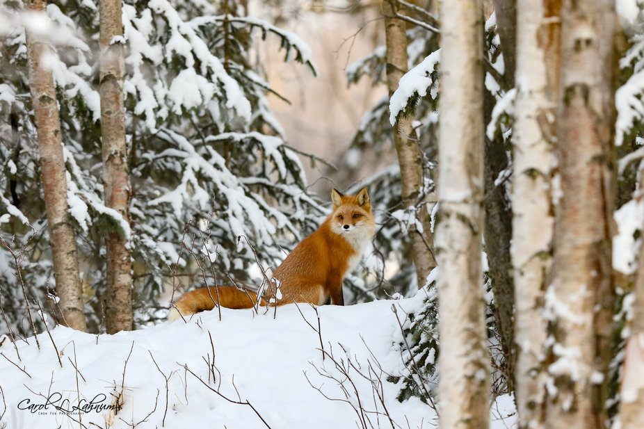 Local wild Fox waiting for dinner to move.