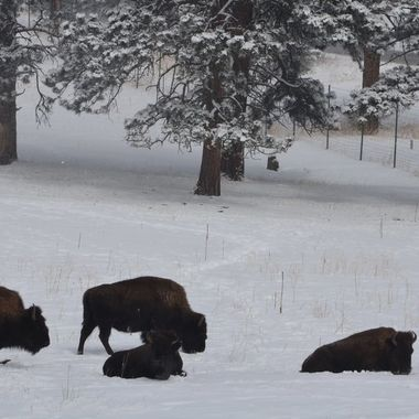 The Genesee buffalo herd in Genesee CO