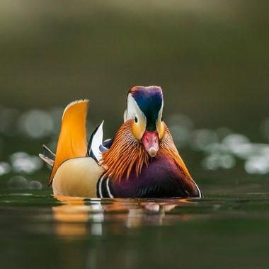 Mandarin duck-09492