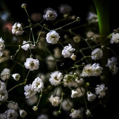 Dreams of Baby's Breath