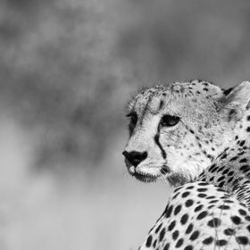 A rare cheetah sighting - Sabi Sands, South Africa