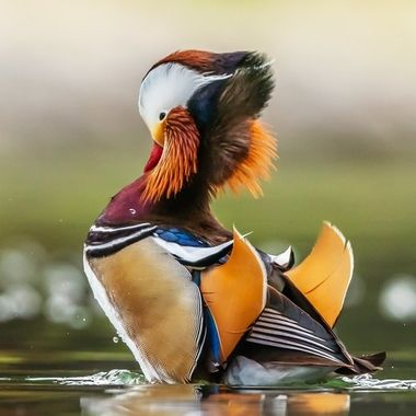 Mandarin duck-09505