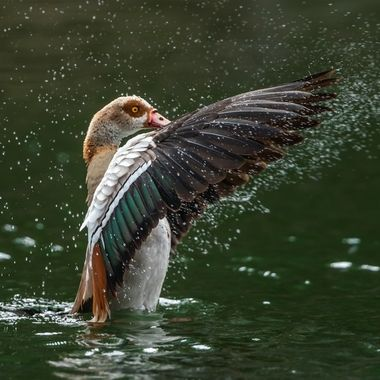 Egyptian geese-09685