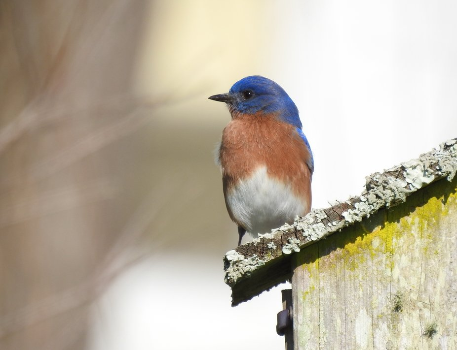 The eastern bluebird is a year-round resident of Florida. The Florida population of eastern blueb...