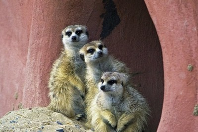 Meerkats shelter from rain