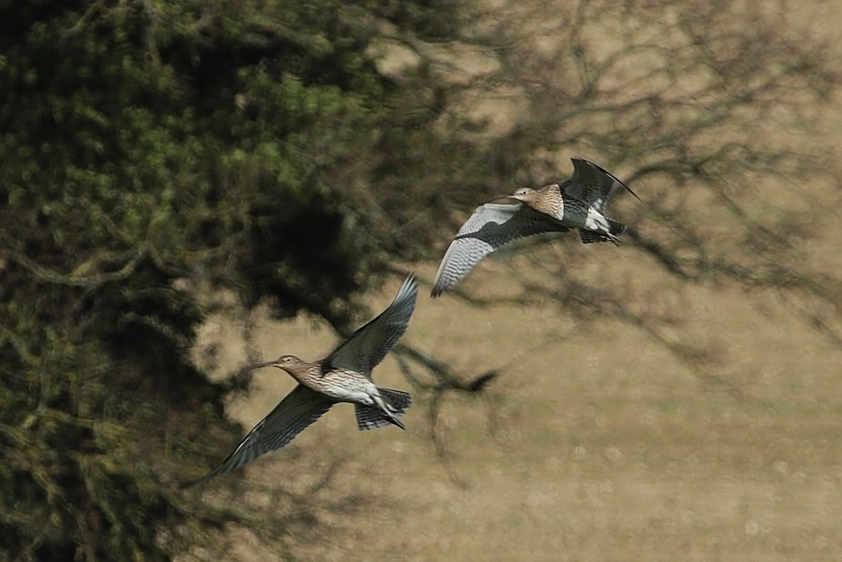 a pair of curlew take off from feeding....