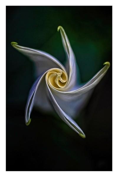 IMG_4682.2019.2.Trumpet Bloom