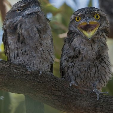 The chick on the right was fooling around while the adult bird on the left didn't look to be so impressed.