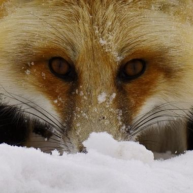 Eyes of a Fox