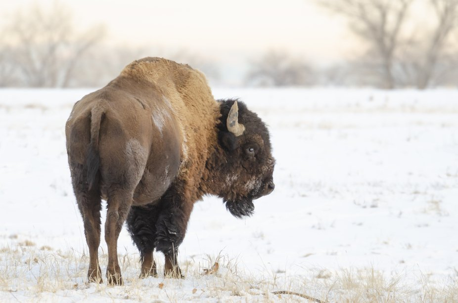 American Bison - Icon of the West