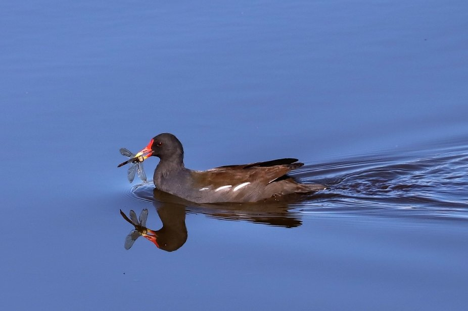 moorhen caught dragon fly but it's the reflection!