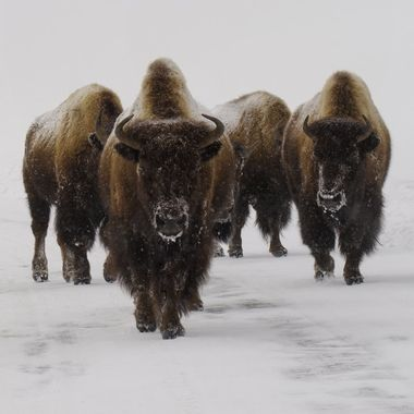 These bison were trudging along a snow covered road in a snow storm on a very cold day in Yellowstone National Park.