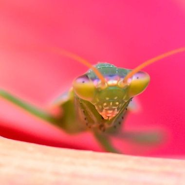 Face to face with Mantis