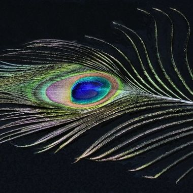 Peacock Feather (1)