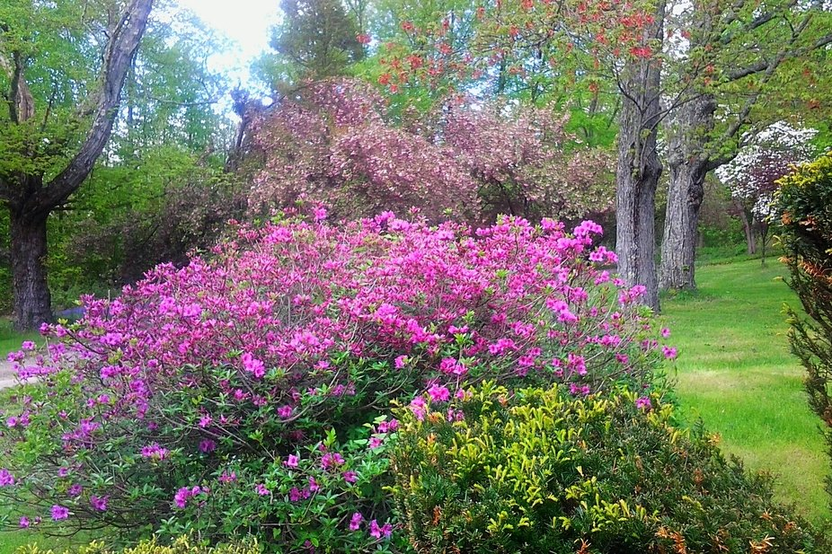 My Azalea with my Dogwood Trees in the background