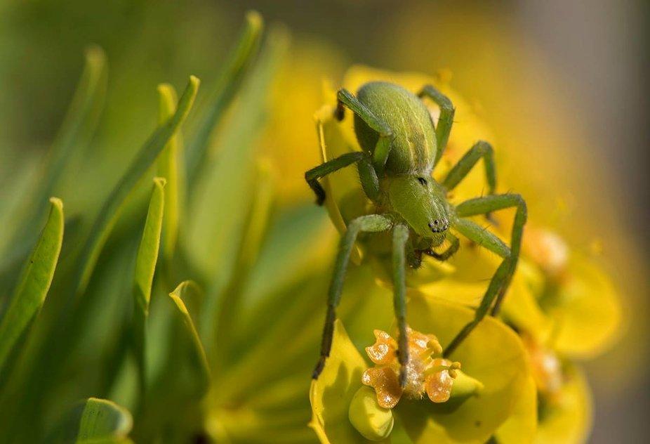 Micrommata ligurina feminine - Sparassidae