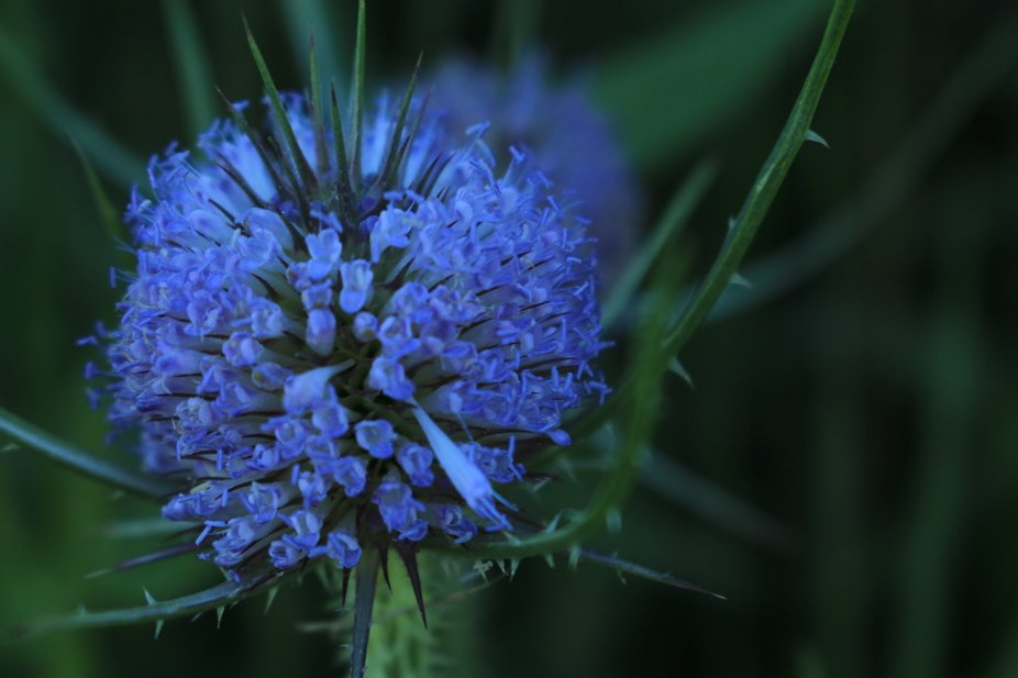 I loved the contrast of the dark background which highlights  the blues and purples of this wildf...