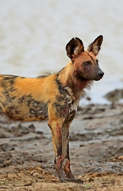 Painted  African Hunting Dog.