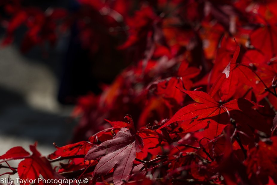 A wave of red flowing through the beautiful trees of Kyoto. Kyoto, Japan.