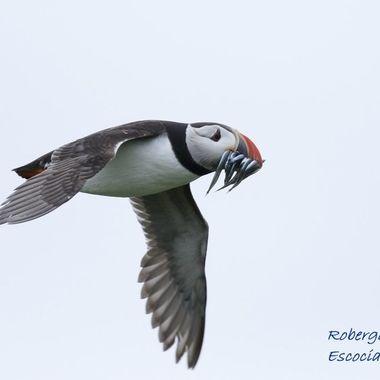 Tipica foto del Frailecillo regresando del mar al nido, cargado de pececillos para los pollos. Islas Farne (Norte de Inglaterra-Escocia)