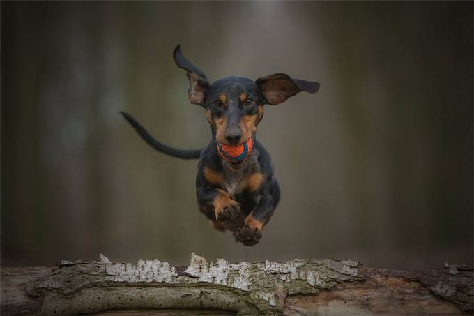 loving my ball by matthiasschotthfer - Dogs In Action Photo Contest