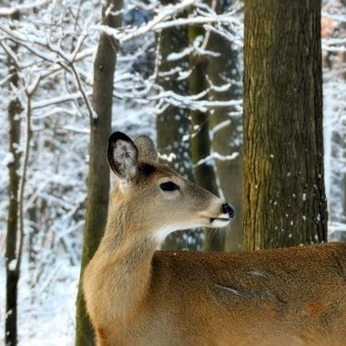 February-Deer