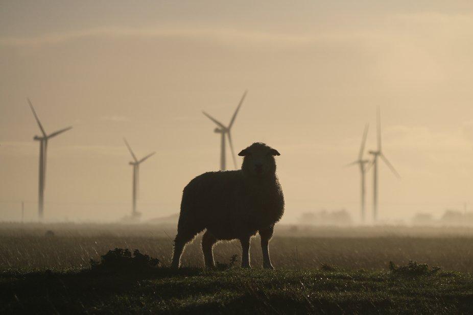 A Romney Marsh Sheep taken just after sunrise on the Romney Marsh
