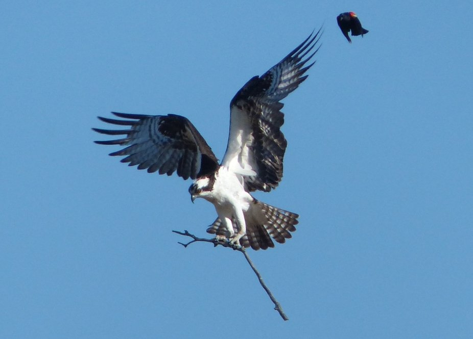 Red-winged Blackbird kept buzzing this Osprey as it tried to build it's nest.