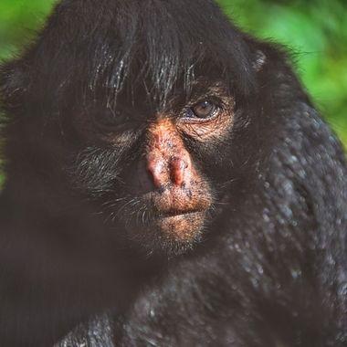 Monkey Gibbon