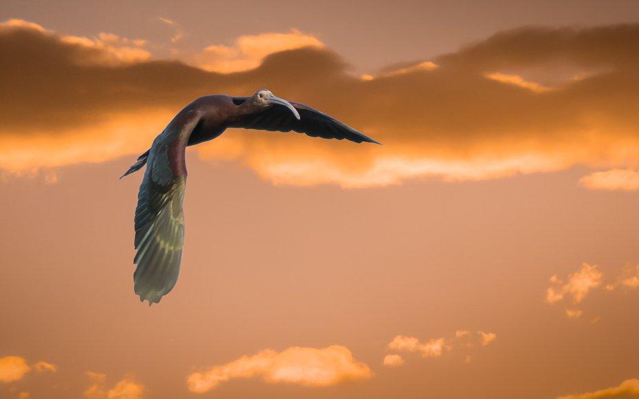 Flight of the Ibis_1PA4018
